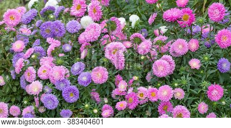 Close Up Of Beautiful Flowers Callistephus Chinensis Or Callistephus Or China Aster And Annual Aster