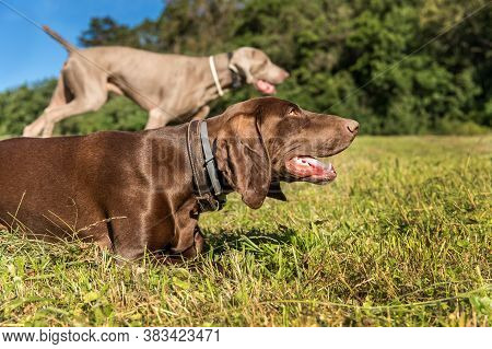 Hunting Hounds On A Green Field. Wildlife Hunting. A Hunting Dog Lies In A Meadow.