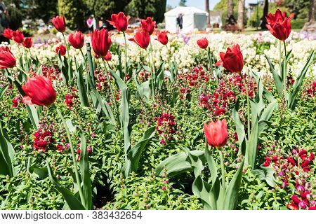 Beautiful Floral Display In Queens Park During Toowoomba's Carnival Of Flowers With Red Tulips, Red