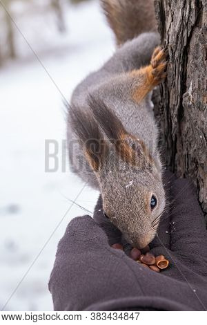Squirrel Eats Nut From A Mans Hand In Winter. Eurasian Red Squirrel, Sciurus Vulgaris