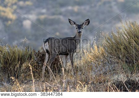 Young Mule Deer at Rocky Peak Park in the Santa Susana Mountains between Los Angeles and Simi Valley, California.