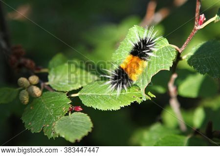 Spotted Tussock Moth (lophocampa Maculata) Caterpillar On Alders In Beartooth Mountains, Montana