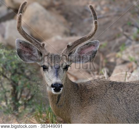 A Beautiful Young Mule Deer Buck Looks At The Camera.