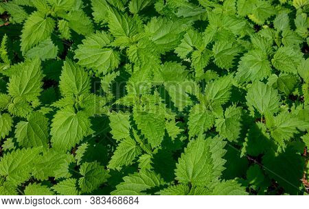 Fresh Nettle Leaves. Thickets Of Nettles. Medicinal Plant. Green Leaves Background.
