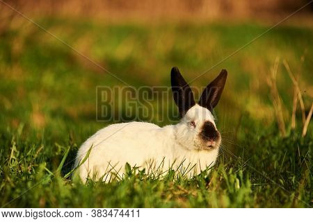 Decorative Breed Of Rabbits. Californian Rabbit Sits On Green Grass