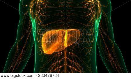 3d Illustration Concept Of Human Internal Digestive Organ Liver Anatomy
