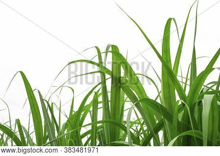 Fresh Green Linear Leaf Of Sugar Cane Isolated On White Background, Die Cut With Clipping Path And C