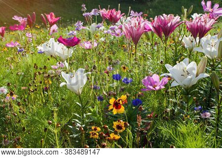 Summer Meadow Full Of White And Purple Lilies, Cornflower And Yellow Flowers And Bathed In The Sun.v