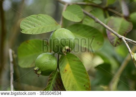 Guava Fruit - Fresh Guava Fruit On A Tree Ready For Harvest, Close Up Guava Fruit
