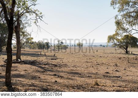 Kangaroos In Dry Paddock On The Darling Downs, Outback Queensland, During Drought