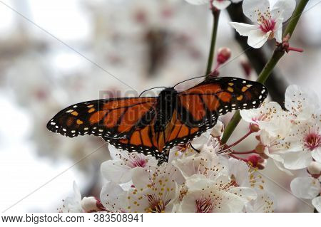 Orange Monarch Butterfly On White Spring Blossom Flowers