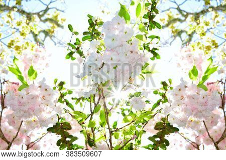 Natural Background With Pink And Whiite Flowers Of Cherry Blossom Against Bright Sunlight. Concept O