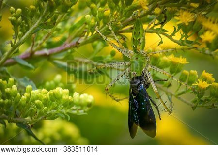 A Green Lynx Spider (peucetia Viridans) Hangs Upside Down With Its Prey, A Two-spotted Scoliid Wasp.