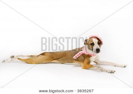 Mixed Breed Dog On White Background