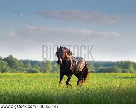 Black Friesian horse runs in summer time