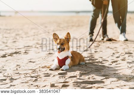 Cropped Image Of People Walking In Beach With Dog. Corgi Puppy Laying On Sand And Looking Away