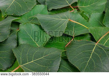 Aspen green leaves. Texture fof design