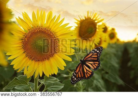 Amazing Fresh Monarch Butterfly Near Beautiful Sunflower