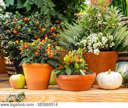Nightshade And Paprika In Clay Pots, Garden Decor. Fresh Natural Vegetables In Pots, Original Design