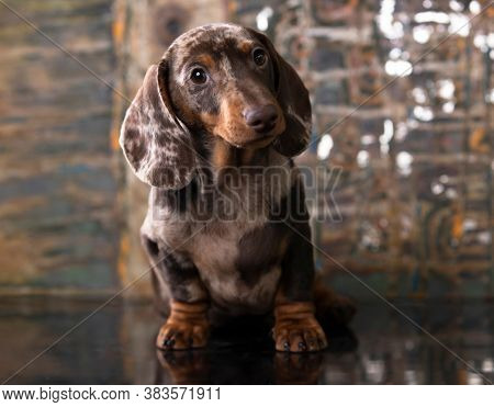 Dog dachshunds puppy , dog portrait