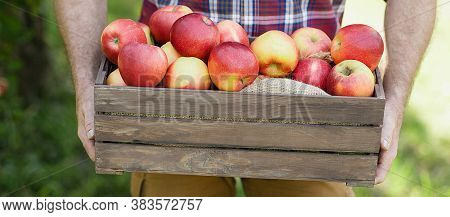 Old Man With Apple In Orchard. Harvest Concept. Garden, Fruits At Fall Harvest. Senior Man Pleased W