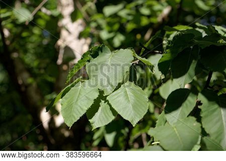 Leaves Of A Monarch Birch, Betula Maximowicziana