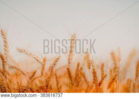Beautiful Golden Wheat Fields In Chiang Mai, Thailand.