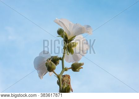 White Hollyhock Bloom In The Garden On Blue Sky And White Cloud Background, Is A Thai Herb.