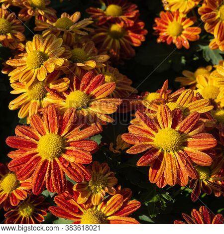 Orange Flower With Drops In Garden Background.