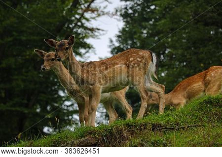 Beautiful Young Sika Deer Stand At The Edge Of The Forest