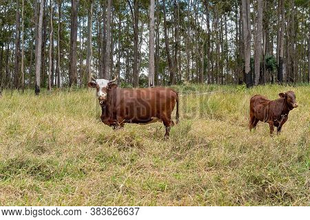 Dairy Cows Farmed For Milk Production, In Their Grazing Environment In Front Of Rural Bushland