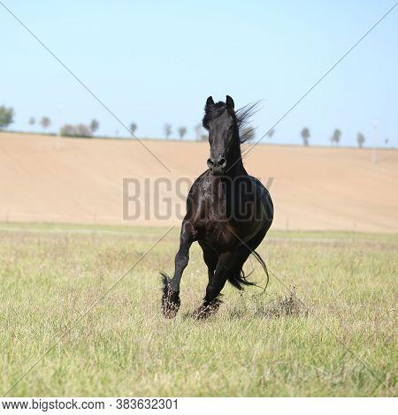 Beautiful Friesian Horse Moving On Pasturage