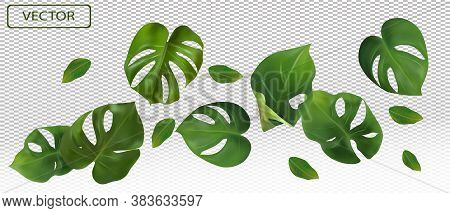 Tropical Green Leaves Monstera On A Transparent Background. Banner For Perfumes, Cosmetic Products,