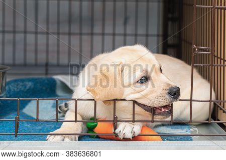 Six-week-old Labrador Puppy Bites An Iron Cage. Puppy Is Teething