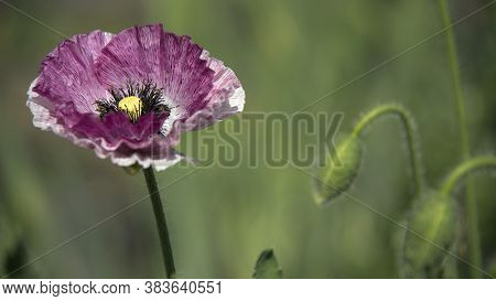 Pink Poppy.a Large Poppy With A White Border.the Flower Is Odorless.successful Combination Of Colors