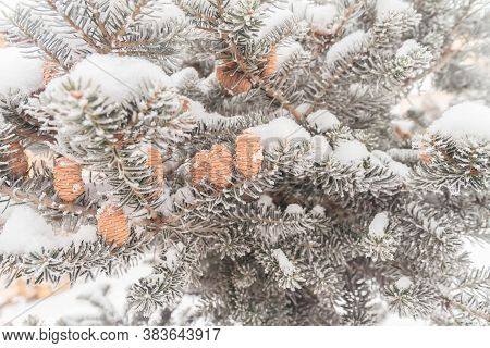 Cones And Branches Ate With Frost In Winter.