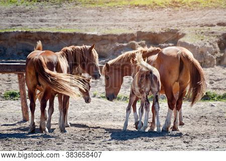 Horses On Ranch. Four Purebred Chestnut Horses Eating Hay. Foals And Mares On The Farm
