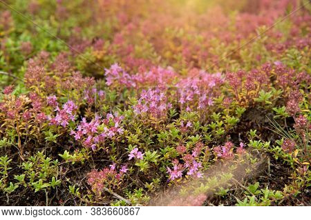 Floral Background Sunlight Glade With Purple Flowers