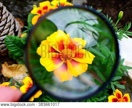 View Of Red Yellow Tagetes Patula Nana Durango Bee Flower Under Magnifying Glass.