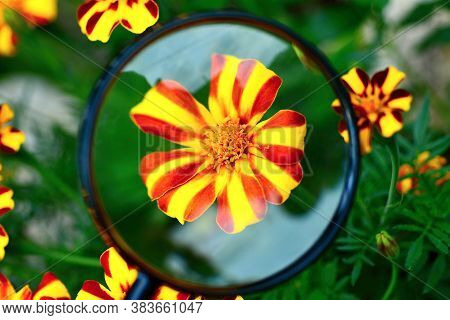 View Of Red Yellow Tagetes Patula Nana Jolly Jester Flower Under Magnifying Glass.