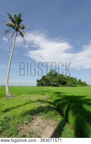 Natural Coconut Tree At Paddy Field Under Blue Sky