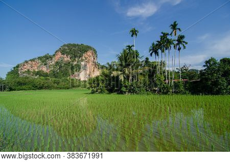 Coconut Tree And Limestone Hill In The Paddy Field.