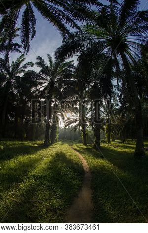 Oil Palm With Back Light In The Morning.