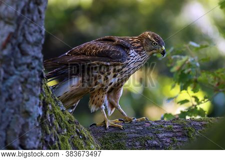 The Northern Goshawk (accipiter Gentilis), A Young Female Hawk With Colorful Background. A Young Haw