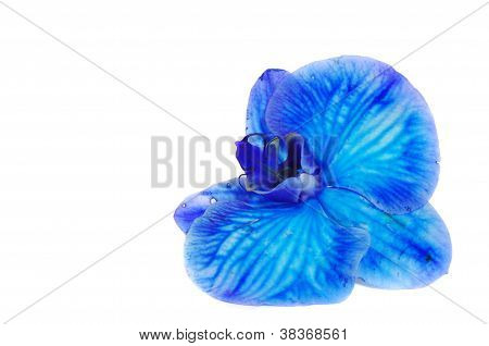 Blue Orchid Isolated On White Background