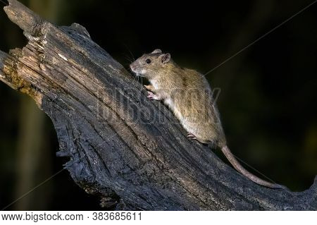 Brown Rat (rattus Norvegicus) On A Trunk At Night In Natural Environment, Netherlands