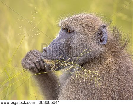 Chacma Baboon (papio Ursinus) Having Breakfast, Feeding On Cereal Seeds Of Grass In Kruger National