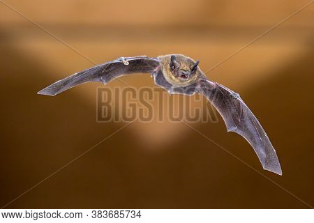 Flying Pipistrelle Bat (pipistrellus Pipistrellus) Action Shot On Wooden Attic Of House With Bright
