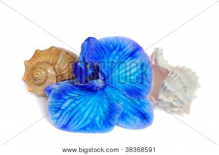 Two Shells And Blue Orchid On White Background
