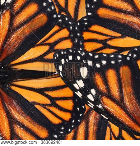 Beautiful Monarch Butterfly Wings As Background, Closeup